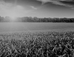 sunlight over a corn field