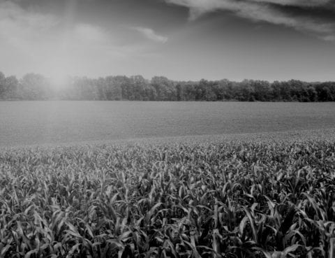 sunlight over a corn field