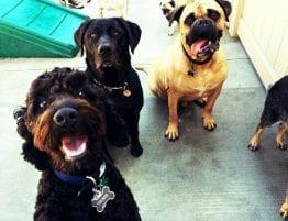 Pet Custody, 3 Dogs Looking at Camera